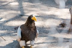 Бело-подогнали орел моря захватнический редка птица Стоковое Изображение RF