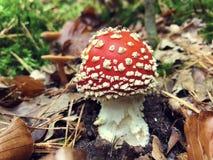 Бело-поставленный точки красным цветом гриб мухомора в лесе осени Стоковая Фотография