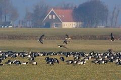 Бело-противостоят гусыня и гусыня щипцев, en Brandgans Kolgans, стоковое фото