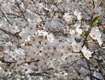 Бело-розовые цветки вишни на ветви цвести вишневого дерева стоковая фотография