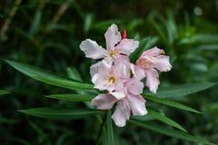 Бело-розовый олеандр perl singl цветка Большие лепестки цветка, зеленые листья стоковая фотография rf