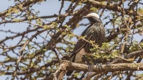 Бело-увенчанный Starling на дереве стоковое изображение rf