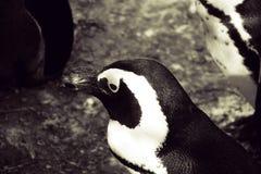 Бело-черная голова малого пингвина в конце-вверх в Варшаве z Стоковые Фотографии RF