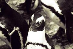 Бело-черная голова малого пингвина в конце-вверх в Варшаве z Стоковое Изображение