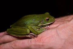 Бело-lipped Treefrog Стоковое Изображение RF