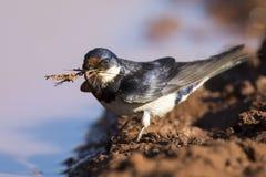 Бело-throated ласточка сидит на тинном водном бассейне для того чтобы получить грязь Стоковые Изображения RF