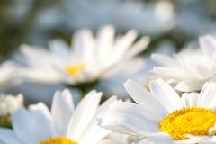 Белые английские маргаритка или маргаритки Конец поднимающий вверх и макрос стоковые фотографии rf