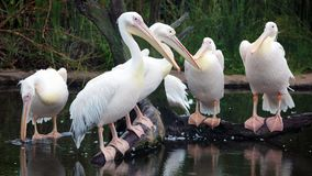 Белые африканские пеликаны стоя над журналом на береге, удя в береге на прибо-береге пока охотящся для еды стоковые изображения