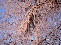 Белые ветви в заморозке покрыли пинк на заходе солнца Стоковые Фотографии RF