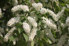Белые вишневые цвета весной стоковое изображение