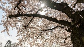 Белые вишневые цвета во Франкфурте, Hesse, Германии, Европе стоковое фото rf