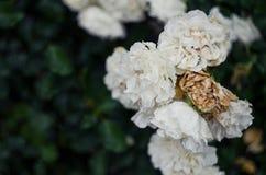 Белые вянуть розы после дождя Символ спада и вызревания Стоковые Изображения RF