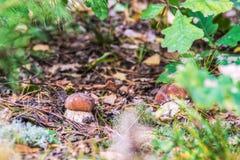 Белые грибы в листве осени стоковые фото