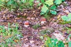 Белые грибы в листве осени стоковое фото rf