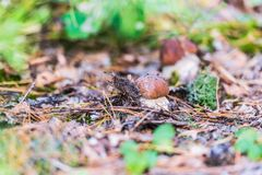 Белые грибы в листве осени стоковая фотография rf