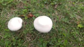 Белые грибы растут на лужайке Оно ` s красивое Стоковое Изображение RF