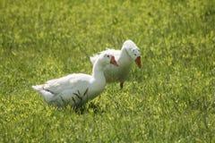 Белые гусыни идя на ярко зеленую траву Стоковое фото RF