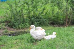 Белые гусыни на зеленой траве Стоковое Изображение