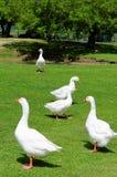 Белые гусыни на зеленой траве Стоковая Фотография