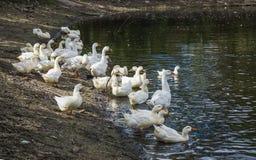Белые гусыни на пруде Стоковые Изображения