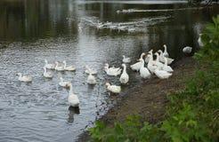 Белые гусыни на пруде Стоковые Изображения RF