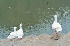 Белые гусыни стоя на камнях около темной ой-зелен серой воды  Стоковые Фото