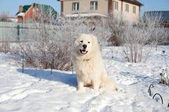 Белые детеныши патрулируют портрет Sheepdog в саде стоковое изображение