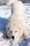 Белые детеныши патрулируют портрет Sheepdog в саде стоковые фото