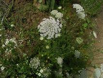 Белые заводы в зеленой траве стоковое фото rf