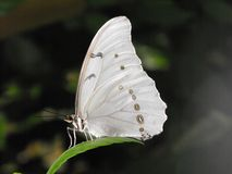 Белые закрытые крыла бабочки Morpho Стоковая Фотография RF