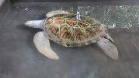 Белые заплывы черепахи альбиноса в бассейне Ферма черепахи в Шри-Ланка сток-видео