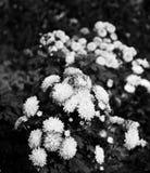 Белые зацветая цветки в саде стоковая фотография rf