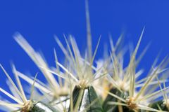 Белые и длинные тернии завода кактуса в изображении ключа макроса, на b Стоковое Фото
