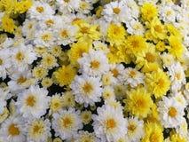 Белые и желтые мамы стоковое фото