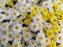 Белые и желтые мамы стоковое изображение