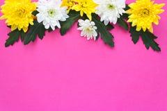 Белые и желтые хризантемы на розовой предпосылке Стоковое фото RF