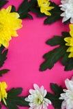 Белые и желтые хризантемы на розовой предпосылке Стоковые Изображения RF
