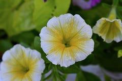 Белые и желтые цветки петуньи в цветени Стоковые Фотографии RF