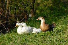 Белые и коричневые утки голосят в патио парка сада города деревни на зеленой траве Утки на поле зеленого цвета фермы ландшафт сел Стоковое Изображение RF