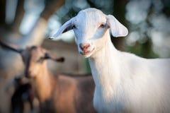 Белые и коричневые nubian козы Стоковая Фотография