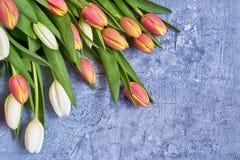 Белые и красные тюльпаны на голубой предпосылке Предпосылка праздника, космос экземпляра День рождения, концепция дня матерей Стоковое Изображение RF
