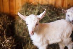 Белые и милые козы младенца в амбаре Стоковые Фотографии RF