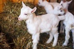 Белые и милые козы младенца в амбаре Стоковая Фотография