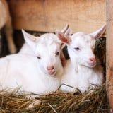 Белые и милые козы младенца в амбаре Стоковое Фото