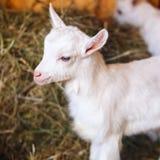 Белые и милые козы младенца в амбаре Стоковые Фото