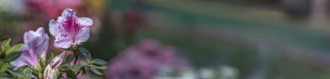Белые и розовые цветки на левом - знамя стоковая фотография rf