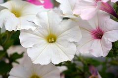 Белые и розовые цветки петуньи в цветени Стоковое Фото
