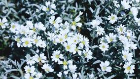 Белые и свежие цветки на поле лета Красивое белое флористическое Стоковая Фотография