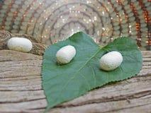 Белые кокон и mulbery листают на мертвом дереве Стоковые Изображения RF