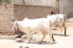 Белые коровы породы синдхи в улице деревни Стоковые Фото